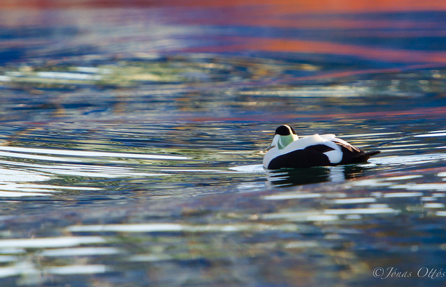 Colours and a passing Eider