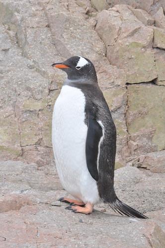 Gentoo Penguin (Pygoscelis papua) Neko Harbour by bjrejames