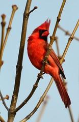 animal, branch, red, fauna, finch, cardinal, beak, bird,