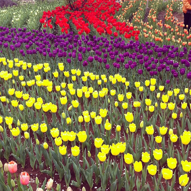 Someone's house garden. They planted 30000 tulips! It is so pretty. #ichigonewjourney