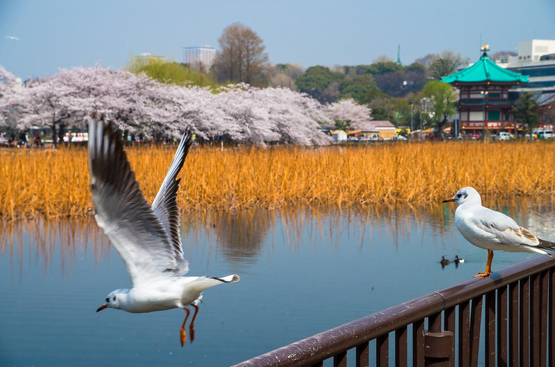 A bird takes off from the railing surrounding Shinobazu Pond in Ueno Park