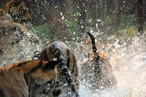 the tigers were very excited to play in the water area
