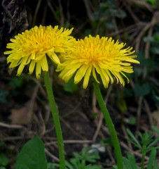 annual plant, dandelion, flower, yellow, plant, sow thistles, flatweed, wildflower, flora, plant stem,