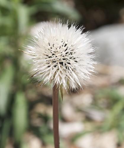 Silver Puffs Seedhead