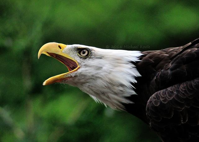 Eagle - Potter Park Zoo