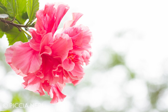 A type of woody hibiscus bush with large, beautiful pink flowers with many petals._-7.jpg