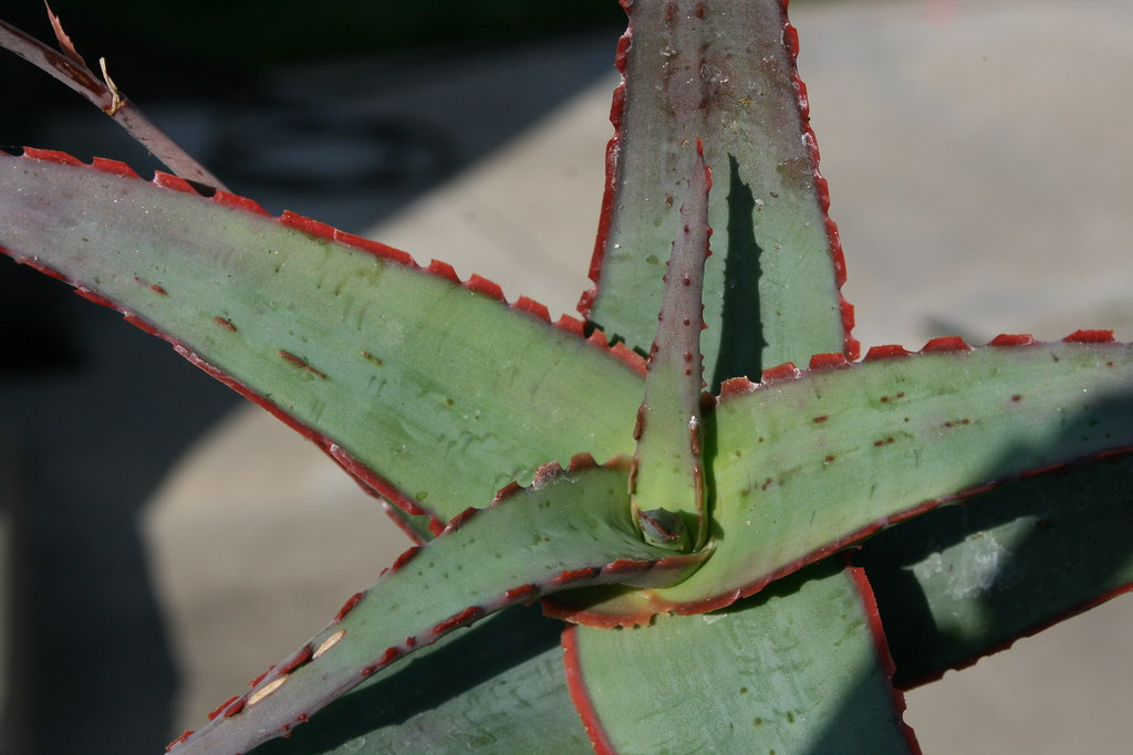 Aloe 'Sunset'