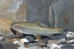 台灣鏟頷魚。(圖片來源:林務局)
