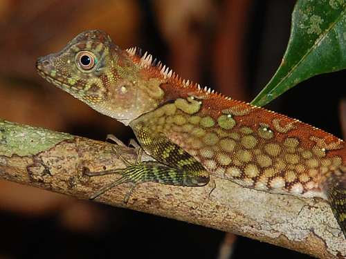 Lizard in Borneo
