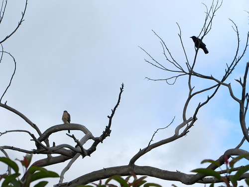 crow stalks hawk