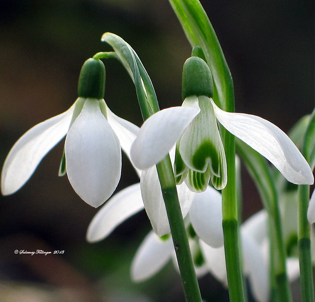 ❤❤ some snowdrops for you ❤❤