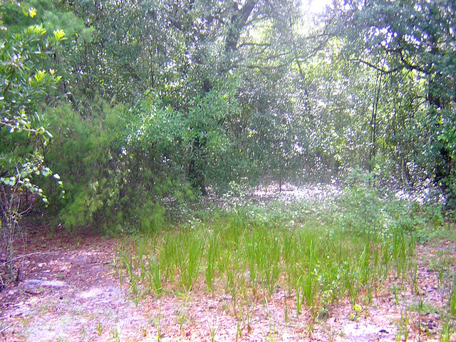 Cutthroat Grass Flickr Photo Sharing