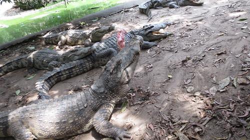 Koh Samui Crocodile Farm サムイ島 クロコダイルファーム (17)