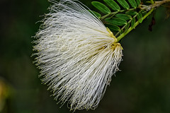 White Calliandra