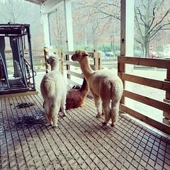 camel(0.0), alpaca(1.0), animal(1.0), llama(1.0), fauna(1.0), camel-like mammal(1.0),