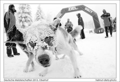 Grönlandhund von Wolfgang Fritz im Ziel bei der Deutschen Schlittenhunde Meisterschaft 2013 in Oberhof, helmut-dietz-photo