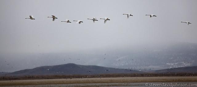 Tundra Swans in flight, Klamath Basin National Wildlife Refuge