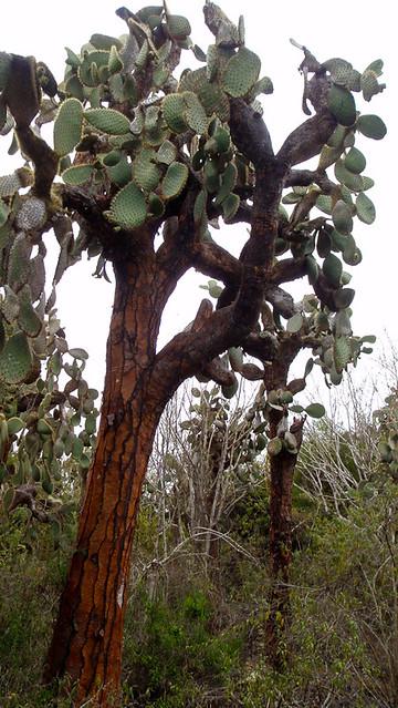 Galapagos Plants: Opuntia Cactus