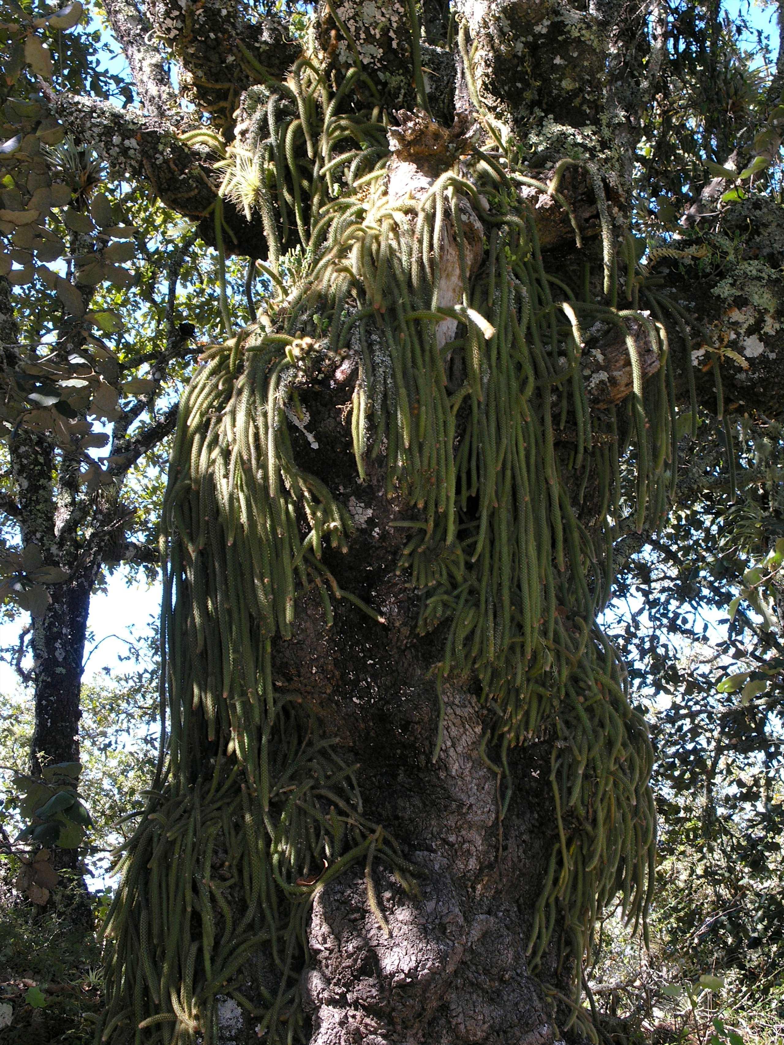 Tree with rat tail 39 s cactus santiago xiacu regi n for Cactus santiago