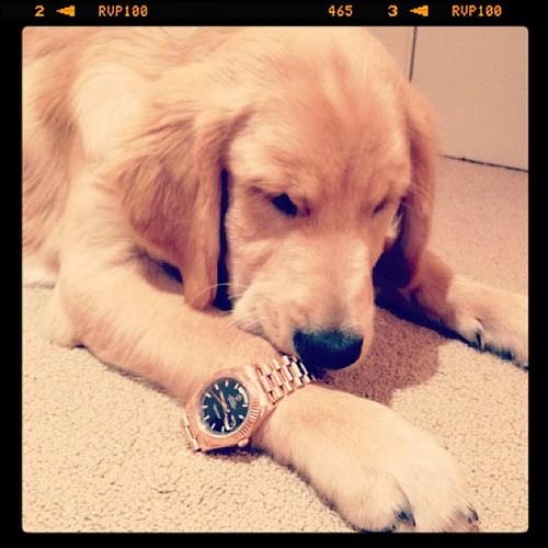 Rolex Dog