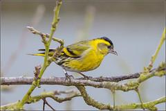 atlantic canary, animal, ortolan bunting, branch, yellow, fauna, emberizidae, beak, bird, wildlife,