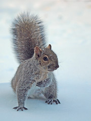 [Free Images] Animals (Mammals), Squirrels, Snow ID:201303191000