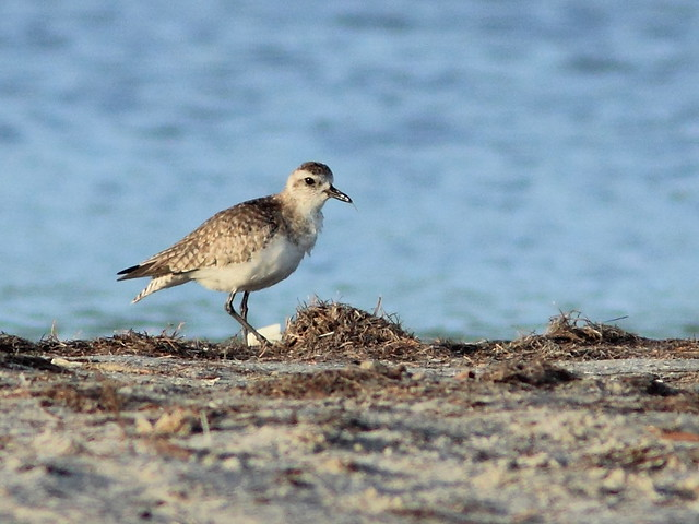 Black-bellied Plover 20130301