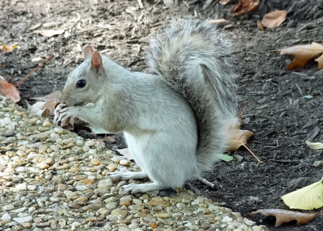 squirrel-in-dc
