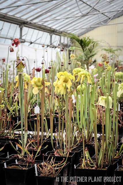 Sarracenia blooms