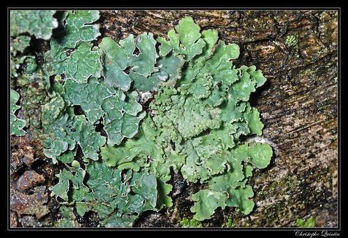 Parmelia saxatilis & Flavoparmelia caperata