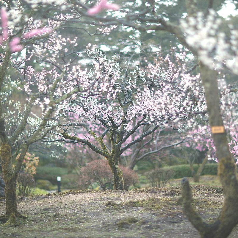 Japanese plum2