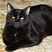 Happy Cat Loaf Day (Sunday) ~ Blacky... by Michelle ~ Blacky ~ Champaz's Captures....