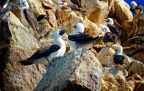 peru islands galapagos islas pisco booby peruvian paracas ballestas