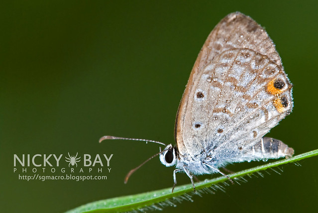 Cycad Blue (Chilades pandava) - DSC_7346