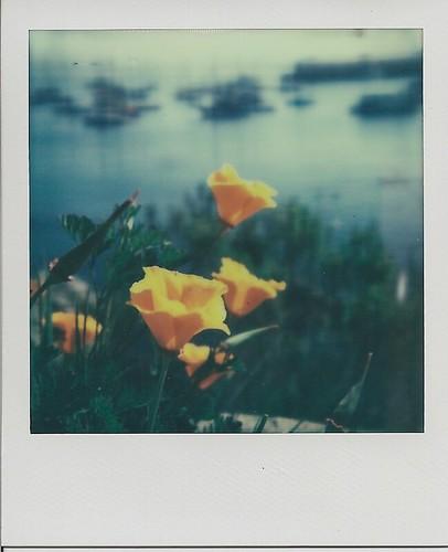 Poppies Monterey Bay 3.16.13