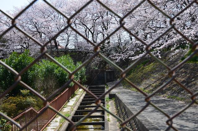 CherryBlossom_8