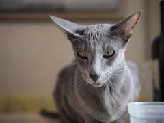 animal, peterbald, small to medium-sized cats, pet, mammal, fauna, oriental shorthair, close-up, cat, korat, whiskers,
