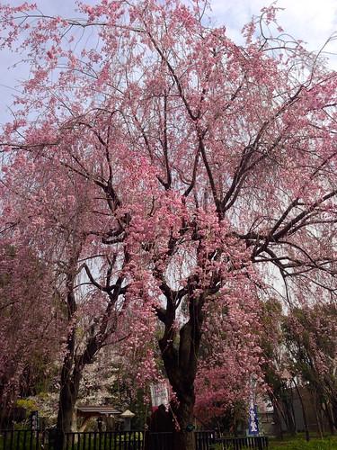 Tokyo's Ueno Park Cherry Blossom