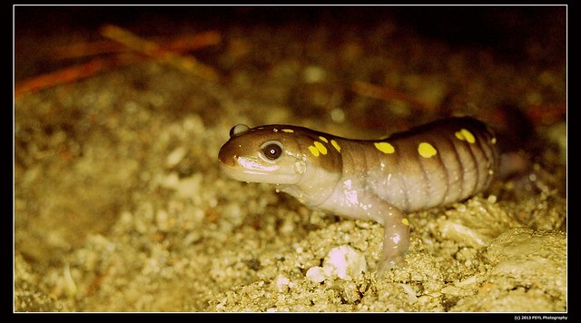 Yellow-spotted salamander (Ambystoma maculatum)