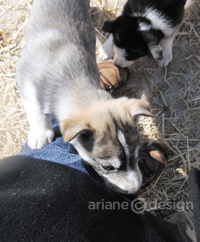 Husky-pups