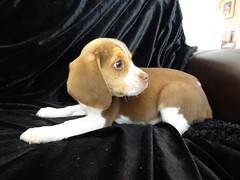Cute Miniature Pocket Beagle Puppies For Sale Tiny Beagles Flickr