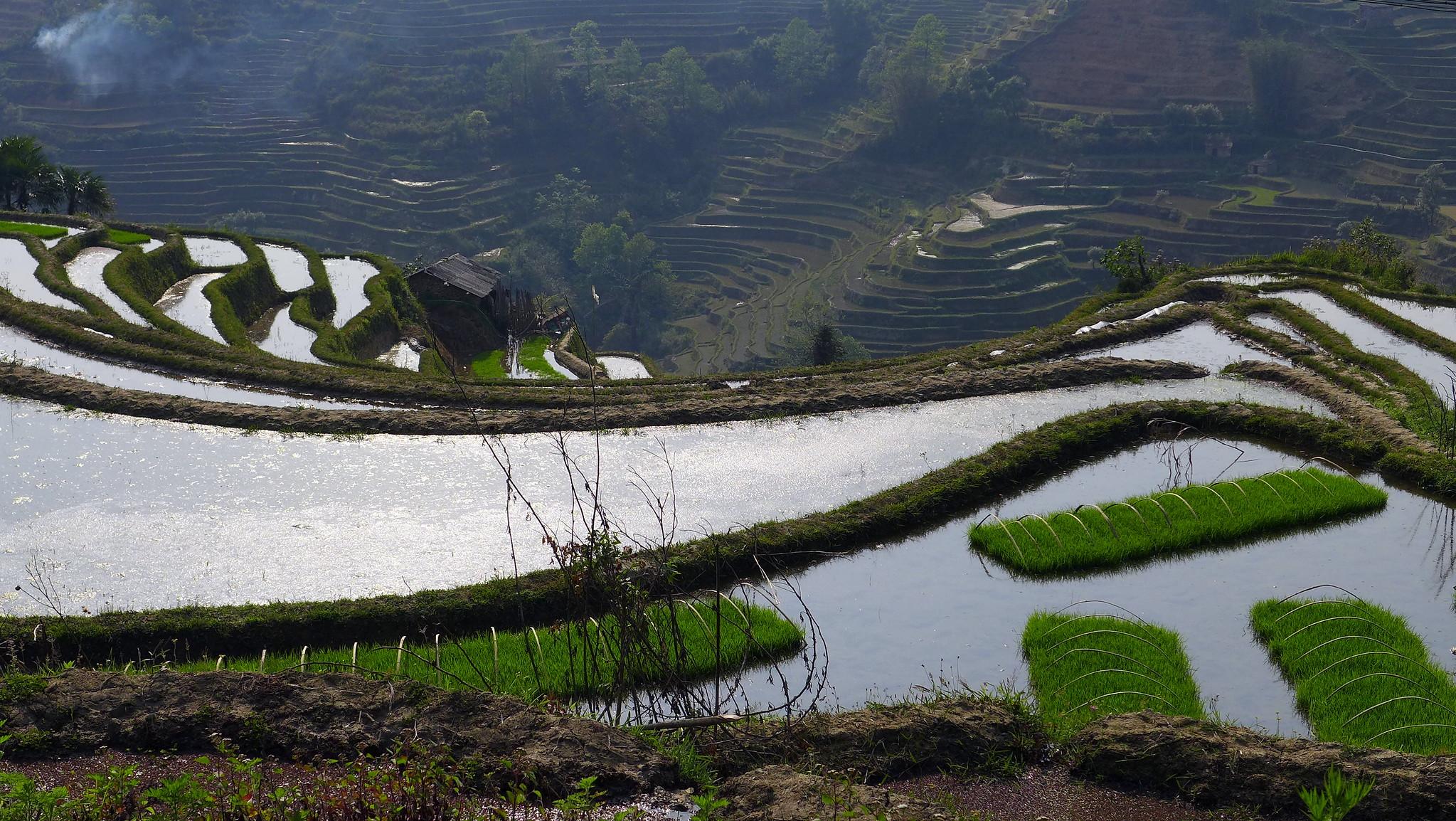 rizières en été