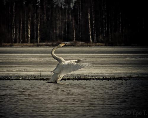 lake ice water canon spring swan vesi järvi jää joutsen kevät haapajärvi 1100d pukkilahti