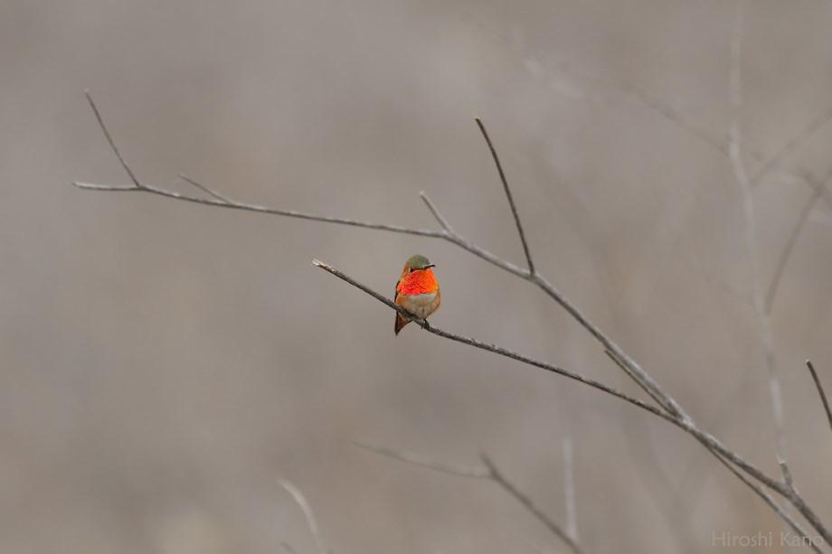 Allen's Hummingbird 042513-2