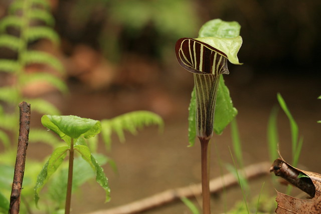 Arisaema triphyllum, commonly known as Jack-in-the-pulpit. Photo by Uli Lorimer.
