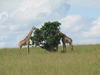 Giraffes - do you see a face or a vase?