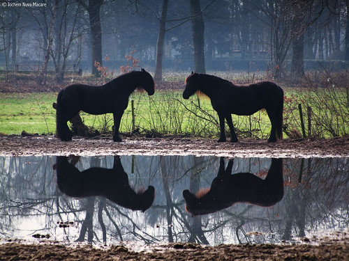 Beautiful waterreflections of these horses in a misty morning. Fairy tales are real right!