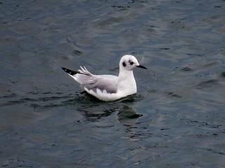 Bonaparte's Gull, Peirce Island, Portsmouth, NH 9/23/16