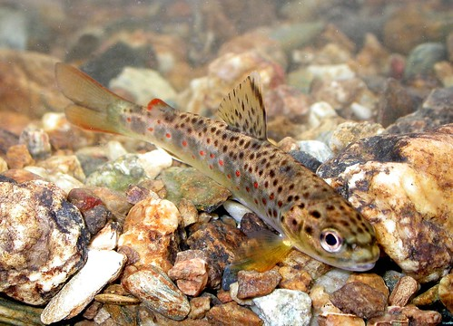 Image of a brown trout.