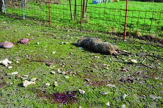 Animali sbranati a Taibo, Valle Savio